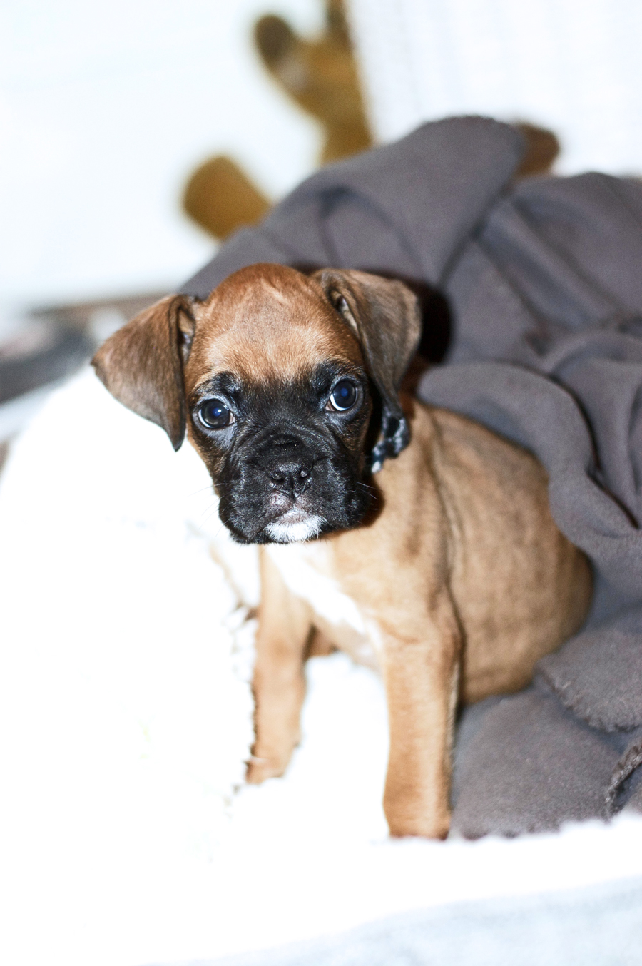 Say Hi To Our Boxer Puppy Koko